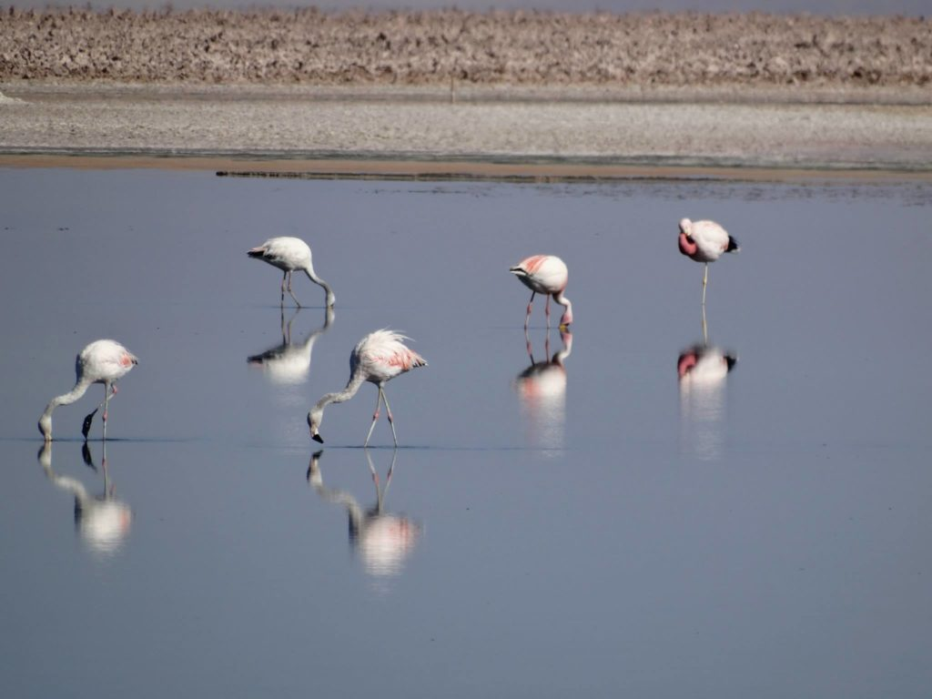 Flamingos auf Futtersuche an der Laguna Chaxa
