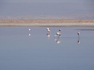 Die Laguna Chaxa im Hohen Norden von Chile - das Reich der Flamingos