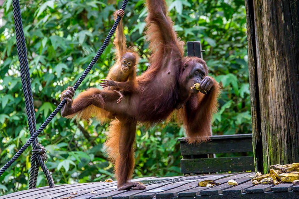 Borneo Malaysia Orang Utans